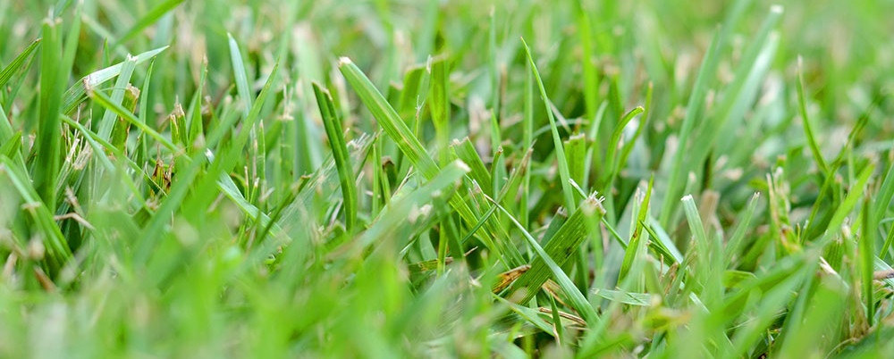 Freshly cut grass, part of our lawn maintenance in Fort Myers, FL